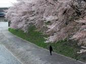 Hoa anh đào – Hiện thân của văn hóa Nhật