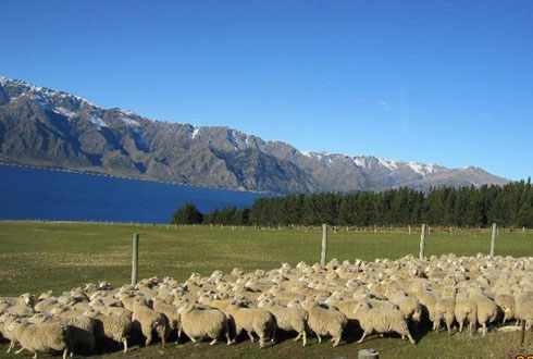 Những trang trại cừu ở mọi nơi.