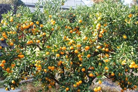 Những vườn quýt trĩu quả gợi nhớ quất ngày Tết ở Việt Nam